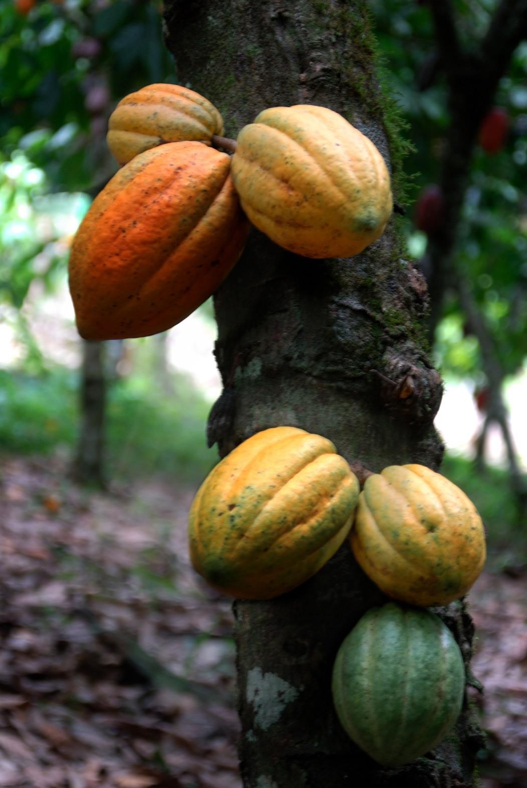 Cacao 1500