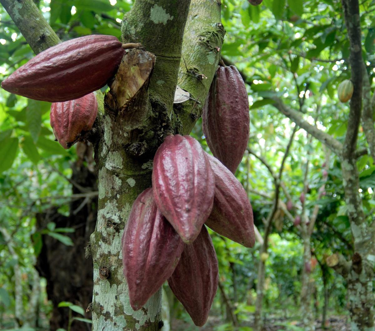 Cacao 003 1593