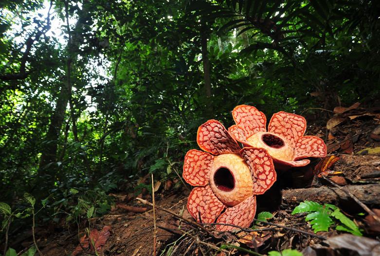 Viaje a malasia  belum rafflesia